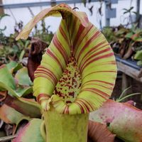 Nepenthes truncata (C).