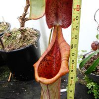 Nepenthes truncata x ephippiata, giant form.