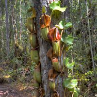 Drew: One of my favourite sites: Nepenthes veitchii from the Maliau Basin. Some of N. veitchii here were climbing 30 feet tall around these trees!