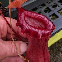 Nepenthes ventricosa 'EP' (k).