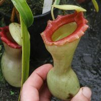 Nepenthes ventricosa 'porcelain'.