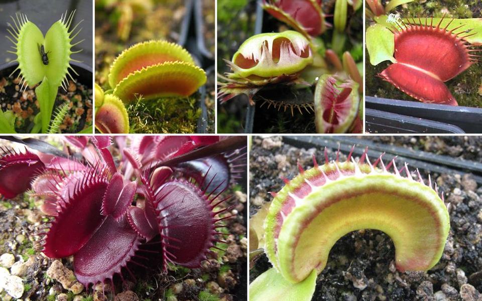 the venus flytrap a complete guide to growing dionaea