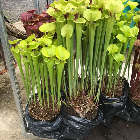 Some stunning forms of Sarracenia flava ready for display.