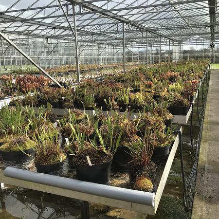 The greenhouse today. Flower buds and pitchers are starting to emerge from the dormant Sarracenia.