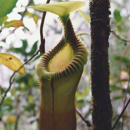 Nepenthes x harryana, the natural hybrid between N. edwardsiana and N. villosa in Borneo.