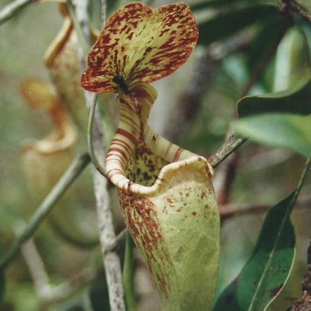 Nepenthes rafflesiana.