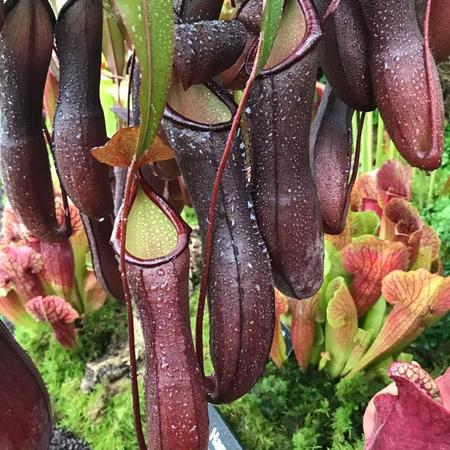 Nepenthes cv 'Rebecca Soper', a cross between N.ramispina and N. ventricosa that Matt named after his daughter.