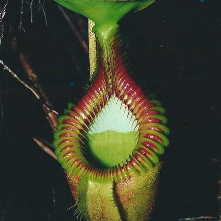 Matt's photo of Nepenthes villosa in Borneo.