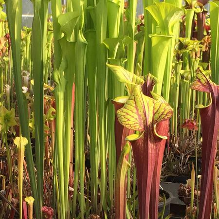 Sarracenia 'James Wong', a selected form of Sarracenia flava var maxima.