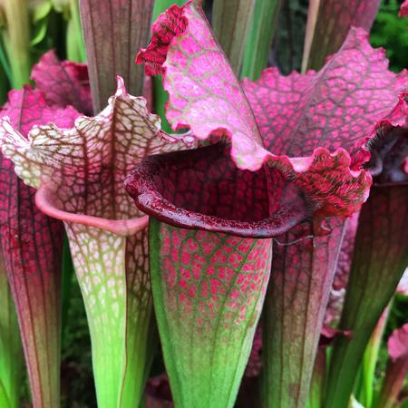 The beautiful pitchers of Sarracenia 'Juthatip Soper'.