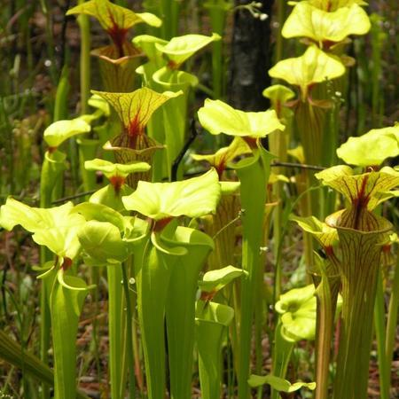 Matt's photo of Sarracenia flava fields in the US.