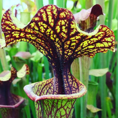 A selected form of Sarracenia x moorei, the cross between S. flava and S. leucophylla.