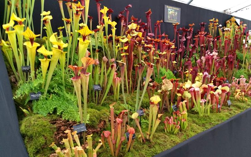 I recently got the opportunity to speak with Mike King of Shropshire Sarracenias, the NCCPG National Collection holder of Sarracenia pitcher plants...