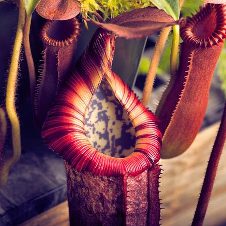Nepenthes villosa, Nepenthes edwardsiana, and the clone sold as Nepenthes burbidgeae x edwardsiana which possibly has N. villosa introgression or is N. burbidgeae x villosa outright.