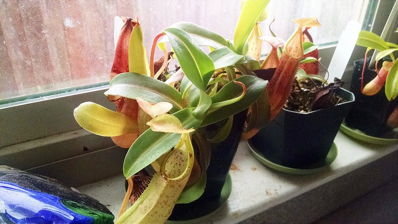 Nepenthes sanguinea, grown on a windowsill by fellow CP grower Devon Peterson.