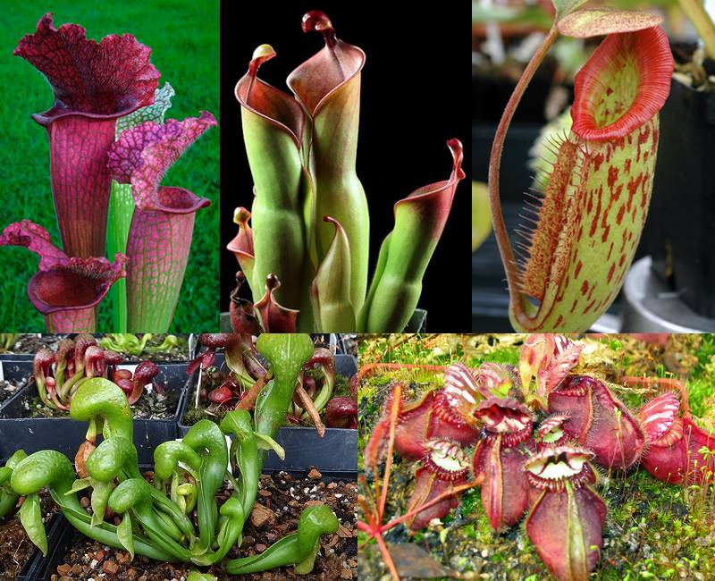 The pitcher plants, clockwise from top left: Sarracenia, Heliamphora, Nepenthes, Cephalotus, Darlingtonia. Courtesy of the ICPS.