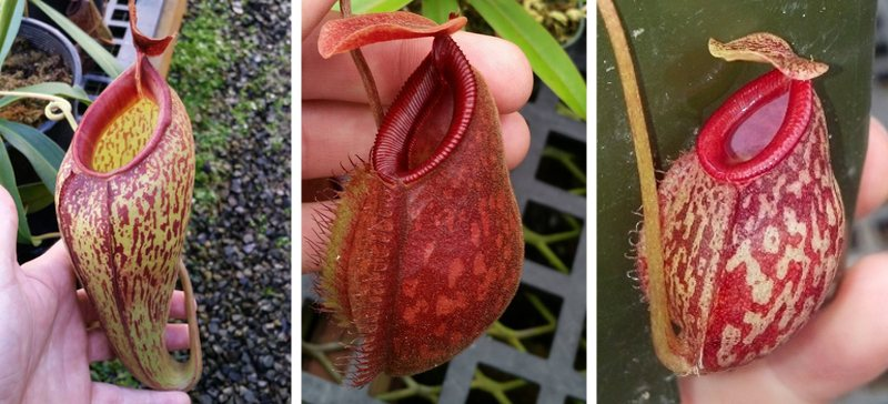 The influence of Nepenthes aristolochioides. From left to right: N. aristolochioides x mira, N. aristolochioides x hamata, N. aristolochioides x glabrata.