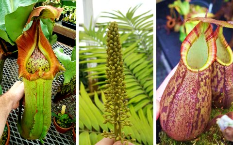A look at the Nepenthes breeding program at Predatory Plants