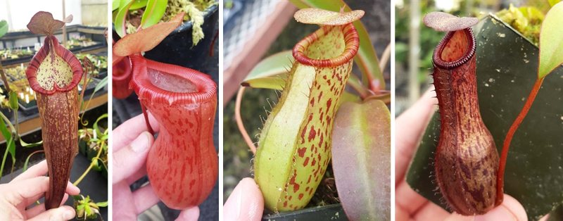 Left to right: N. densiflora x spectabilis (N. 'Dream'), Nepenthes ventricosa (N. 'Victory'), and two offspring of the grex (Nepenthes Dream of Victory).