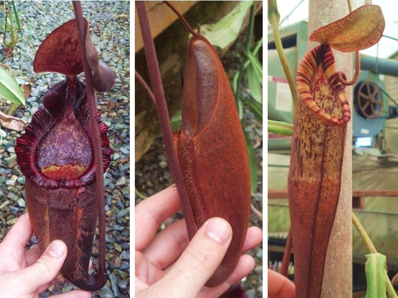 An adult Nepenthes 'Dream' (N. densiflora x spectabilis 'Giant') - from left to right, a lower pitcher, a developing lower pitcher, and an upper pitcher.