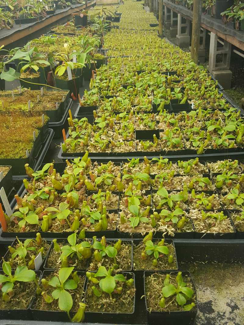Hundreds of Nepenthes seedlings at the Predatory Plants greenhouses!