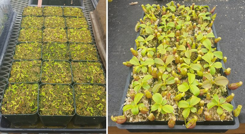 Left: Germination of Nepenthes seeds at Predatory Plants. Right: A tray of 2-year-old Nepenthes Titan's Mirror (N. truncata x mira)