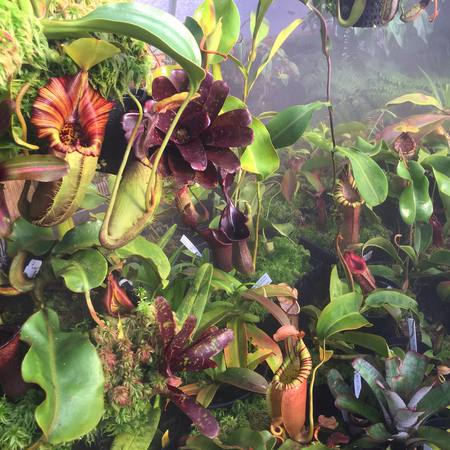 The Redleaf Nepenthes poly-tunnel.