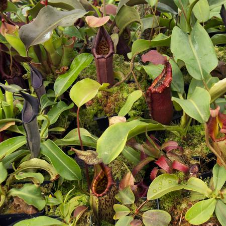 A fresh Exotica Plants import in the Redleaf Exotics nursery.
