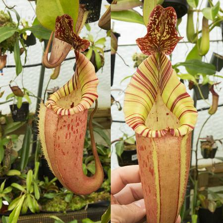 Nepenthes x tiveyi 'Fullerton' clone.