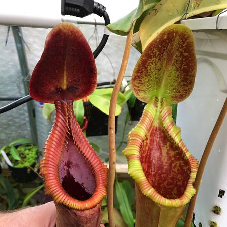 Nepenthes × trusmadiensis (I think!)