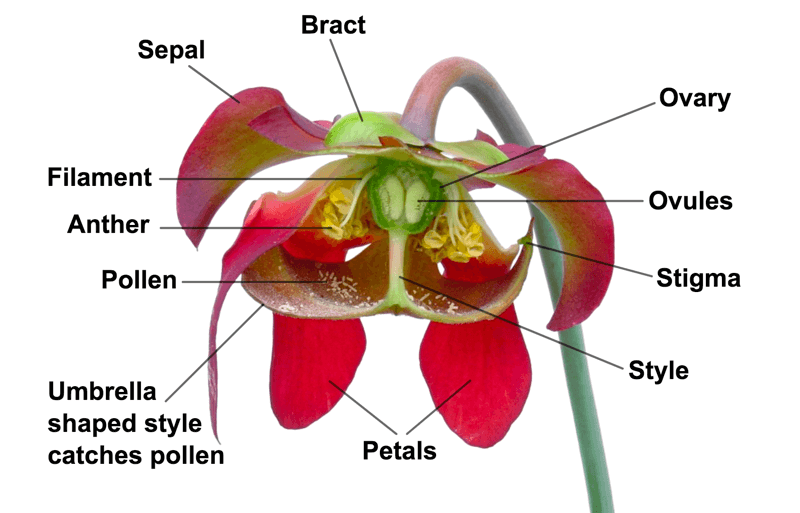Cross-section of a Sarracenia flower,