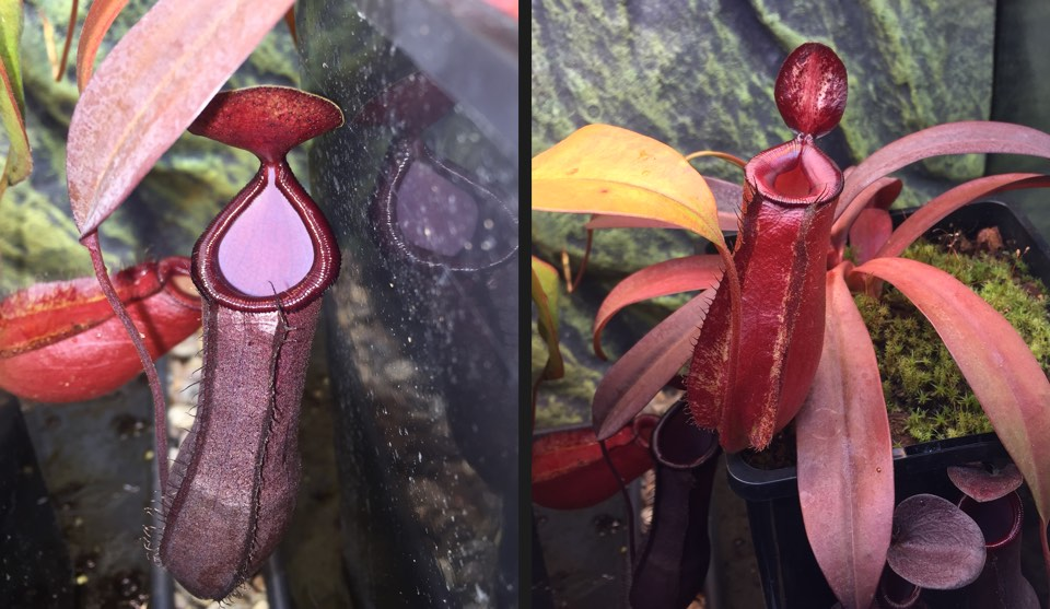 Nepenthes sanguinea and Nepenthes x Bloody Mary pitchers.