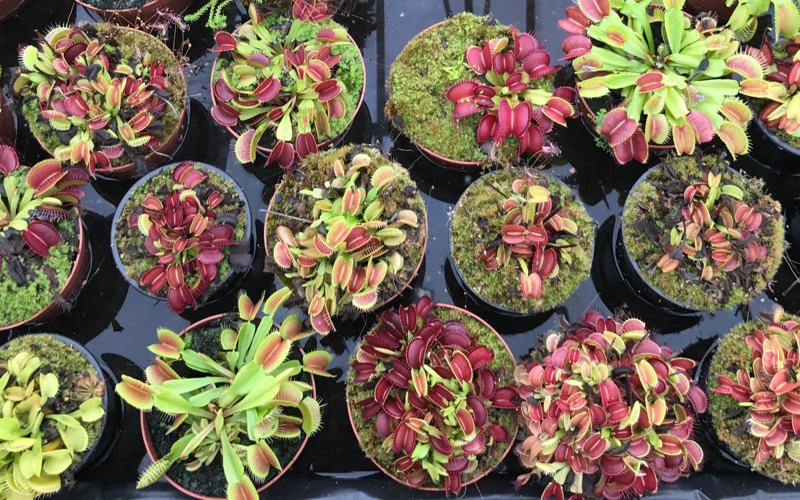 If your flytrap's leaves are turning black, don't panic - traps can die for many different reasons and this is rarely fatal to the plant. Five common causes are...