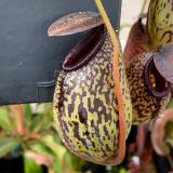 Nepenthes aristolochioides x burkei. 2. A pitcher on the sale plant.