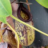 Nepenthes aristolochioides x burkei. 3. A pitcher on the sale plant.