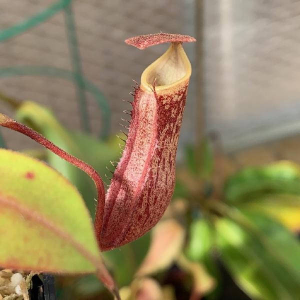 Nepenthes boschiana. 1. A pitcher on the exact plant which is for sale.
