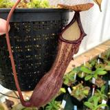 Nepenthes boschiana. 3. My mature specimen of a different form of the species.
