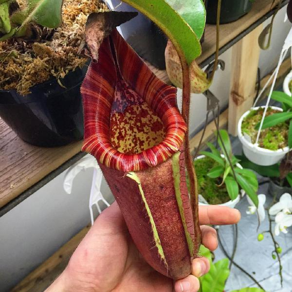 Nepenthes glandulifera x veitchii 'Candy'. 1. A pitcher on mature plant, grown by Konrad Kutter.