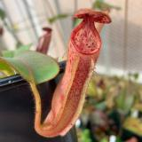 Nepenthes glandulifera x veitchii 'Candy'. 2. A pitcher on a typical sale plant.