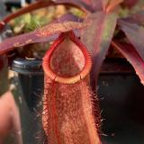Nepenthes thorelii x hamata. 1. A pitcher on a typical sale plant.
