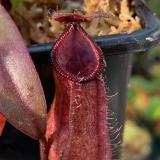Nepenthes thorelii x hamata. 4. A typical small sale plant.