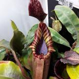 Nepenthes maxima 'Wavy Leaf' x veitchii 'Candy'. 1. A mature specimen of this same cross grown by a friend.