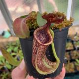 Nepenthes maxima. 1. A pitcher on a typical sale plant.