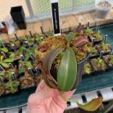 Nepenthes maxima. 2. A typical small sale plant.