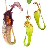 Nepenthes maxima. 4. Stock photos of the lower and upper pitchers.