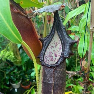 Nepenthes naga. 1. A mature specimen of this species.