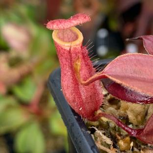 Nepenthes palawanensis. 1. A pitcher on the exact plant which is for sale.