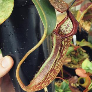Nepenthes platychila x boschiana. 1. A pitcher on a typical sale plant.