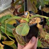 Nepenthes platychila x lowii. 2. A typical large-sized sale plant.