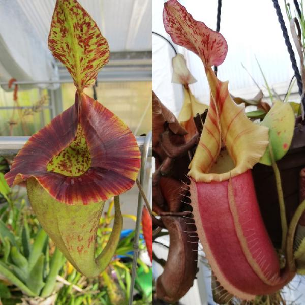 Nepenthes platychila x veitchii. 1. The parent plants: N. platychila and a red striped N. veitchii.